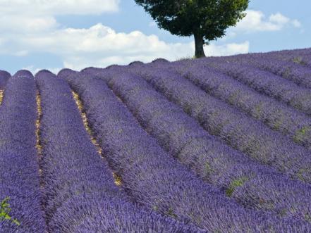 Лавандулови поля във Франция
