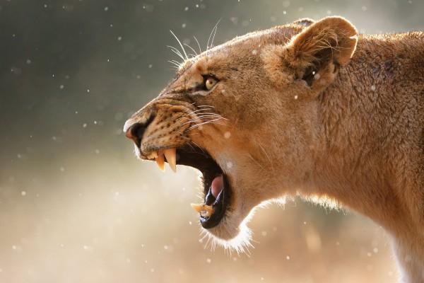 разярен лъв